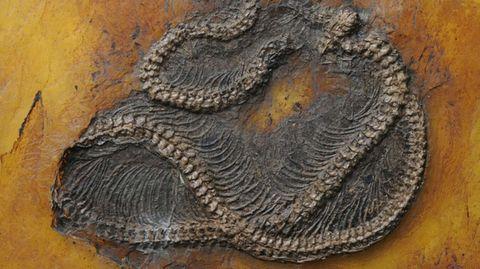 Wissenschaftler stellen wahres Alter fest: Diese Pythons sind 47 Millionen Jahre alt