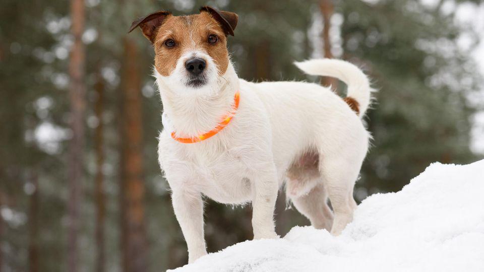 Ein Leuchthalsband für den Hund ist im Winter sinnvoll
