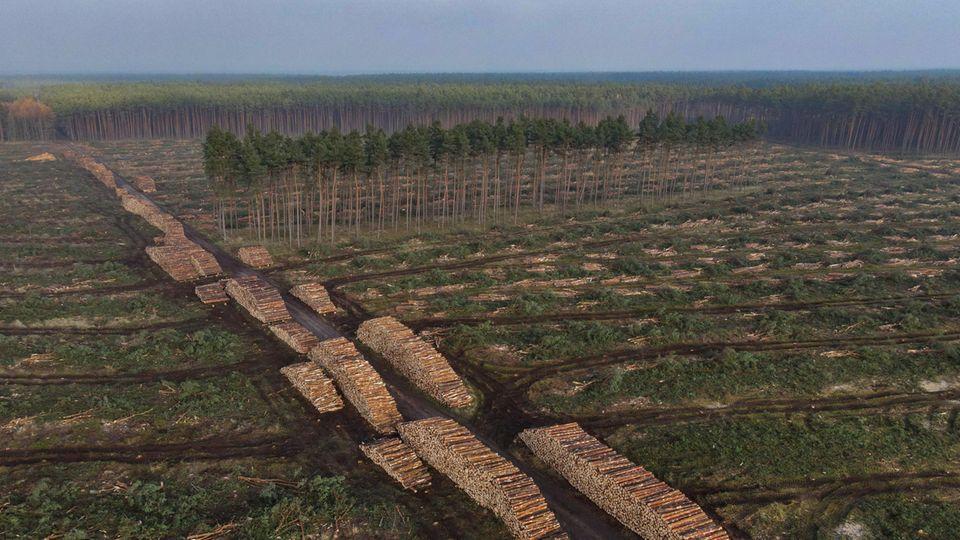 Bereits abgeholzt ist eine weitere Fläche Kiefernwald auf der Baustelle der Tesla Gigafactory