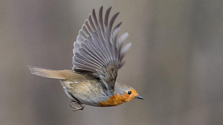 Ein Rotkehlchen fliegt von einem Ast weg