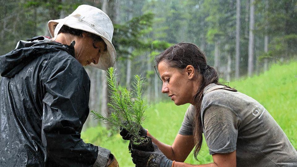 Bergwaldprojekt e.V. vermittelt ökologische Einsätze in Deutschland - Freiwillige werden beispielsweise zur Lärchenpflanzung eingesetzt