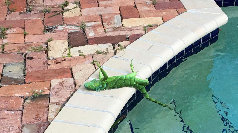 Ein Leguan liegt auf dem Rücken