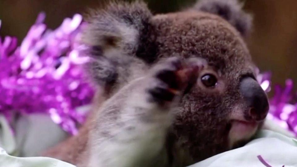 In einem weiß gepolsterten Korb sitzt ein Koala und greift nach einem Eukalyptuszweig