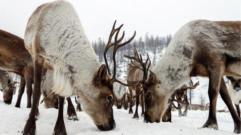 Russland: Rentiere durch Klimawandel bedroht, warnen Umweltschützer