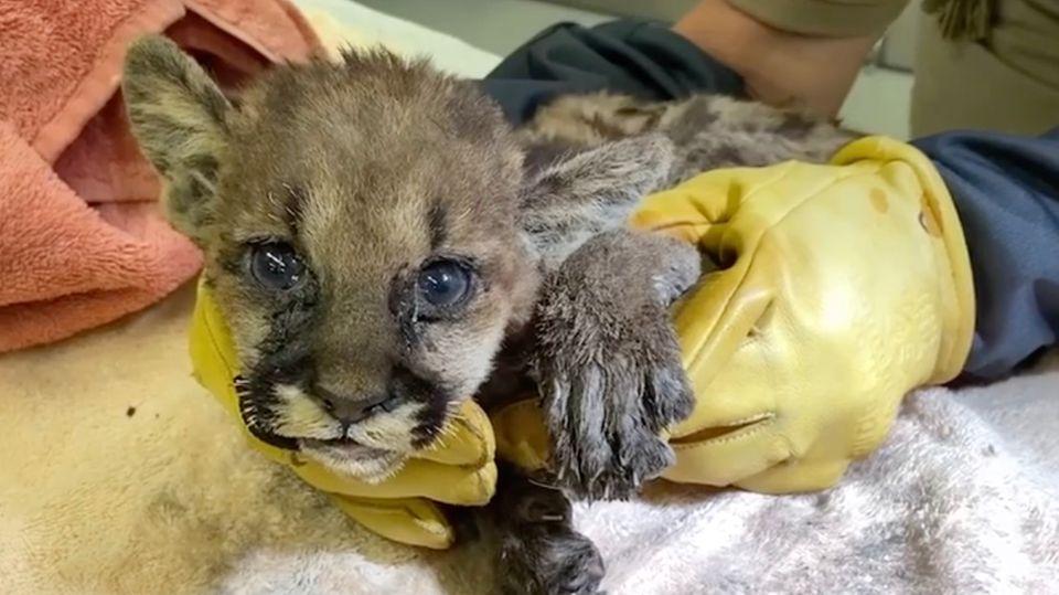 Puma-Baby aus Feuer geborgen: Diese Tiermomente aus 2020 gehen direkt ins Herz