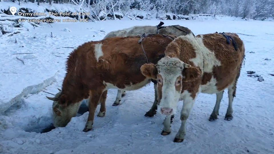 """In Jakutien müssen Küheauch bei -60 Grad nach draußen. Spezielle """"BHs"""" für ihre Euter schützen die empfindlichenStellen."""