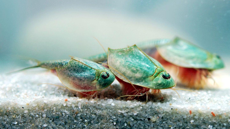 Drei Triops longicaudatus in einem Aquarium