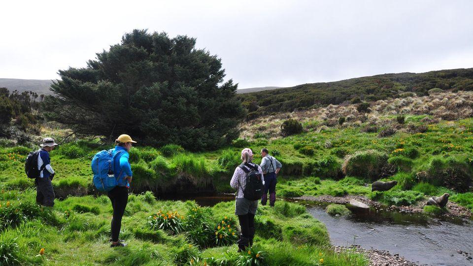 Einsamster Baum der Welt: Die Sitka-Fichte auf Campbell Island