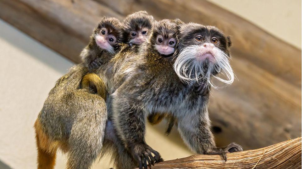 Die drei bärtigen Affenjungen sitzen auf den Schultern ihres Vaters.
