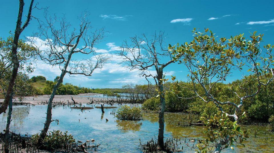 Ein Mangrovensumpf im Osten von Australien.