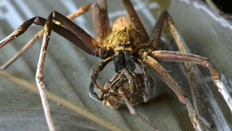 Huntsman Spider in Australien.