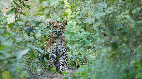 Die Anzahl der Leoparden in Indien ist gestiegen