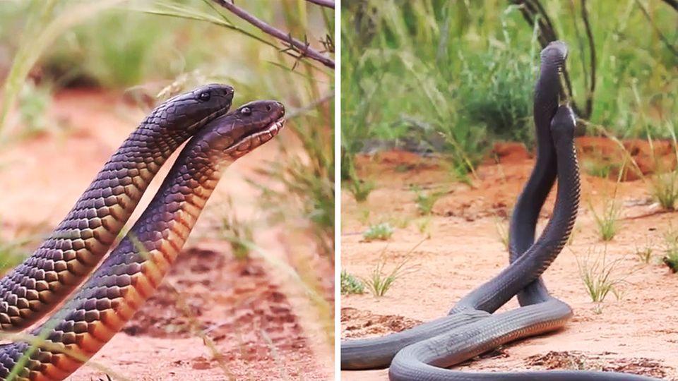 Zwei Mulgaschlangen kämpfen miteinander.