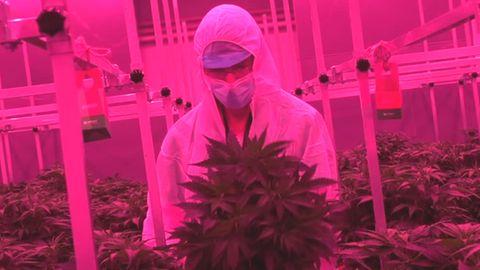 Ein Mann im weißen Overall und mit Mundschutz steht in pinkem Licht vor einer üppigen Cannabis-Pflanze