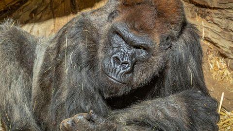 Ein Gorilla liegt auf seine Unterarme gestützt unter einer künstlichen Felswand in der Sonne. Unter ihm liegt Stroh