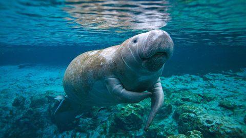 Eine Seekuh in Florida, USA