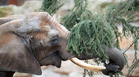 Ein Elefant steht im Zoo in seinem Gehege und frisst die Reste eines Weihnachtsbaums.