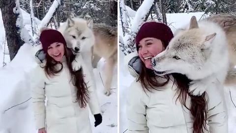 Raubtier-Kuss: Wolf schleckt Frau plötzlich das Gesicht ab