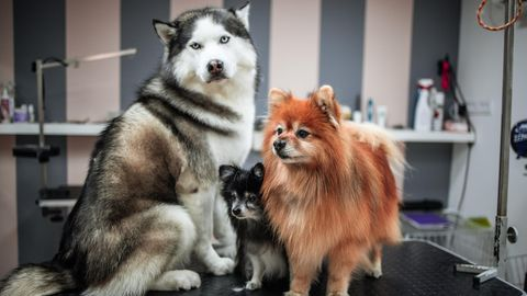 Drei frisch frisierte Hunde stehen auf einem Tisch
