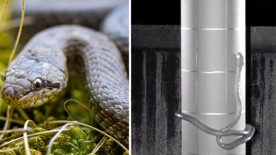 Schlange klettert mit Lasso-Methode an Pfahl hoch