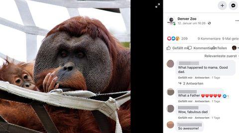 Ein männlicher Orang-Utan kuschelt mit seiner Tochter